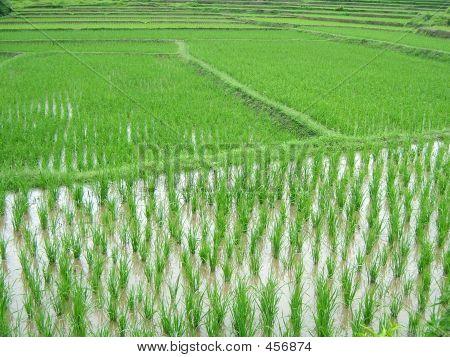 Rice Plantation