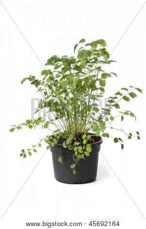 Pot with Small burnet plant on white background