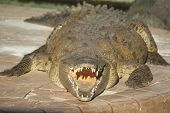 BIG fat Crocodile wuth mouth open at camera sunning on a concrete slab poster