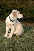 a close-up photo of puppy of golden retriever watching something poster