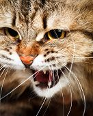 Portrait of angry hissing Siberian cat showing teeth poster