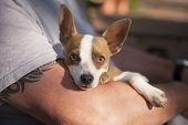 Cute Jack Russell Terrier Look On As Master Holds Her in His Lap. poster