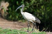 A Sacred Ibis Posing in profile near mangroves poster