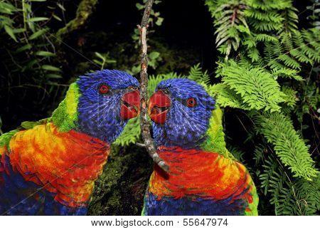 Sunset Lorikeet Parrots Couple