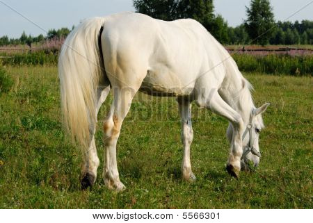 White horse in a pen