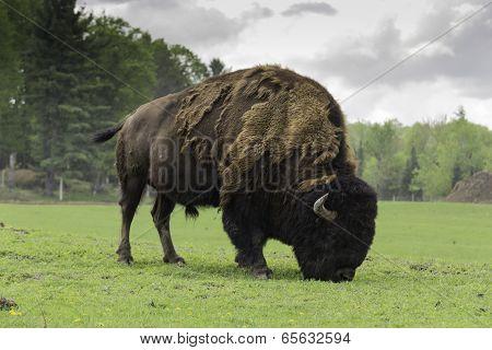 Grazing Buffalo
