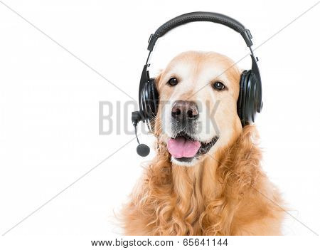 beautiful red retriever with headset isoleted on a white background poster