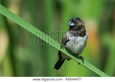 A Bronze Mannikin (lonchura Cucullata) Perched On A Reed