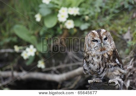 A captive Tawny Owl strix aluco perched on a stone poster