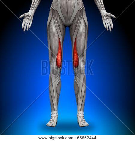 Vastus Medialis - Female Anatomy Muscles