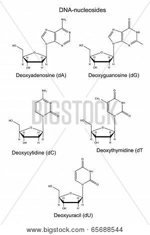 Structural Chemical Formulas Of  DNA Nucleosides