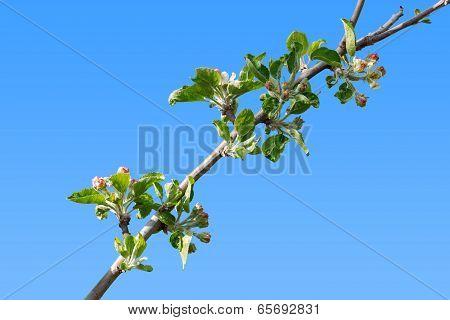 Burgeoning Apple Tree Branch