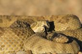 Rattlesnake close up (focus on the head) poster