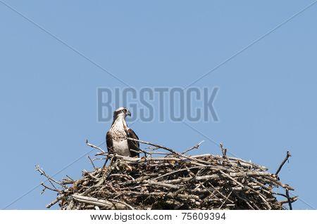Proud Osprey In The Nest