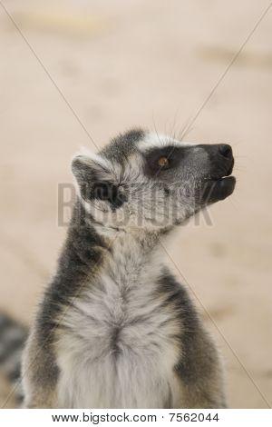 Ring-tailed Lemur (Lemur Catta) Portrait shot in Athens Zoo poster