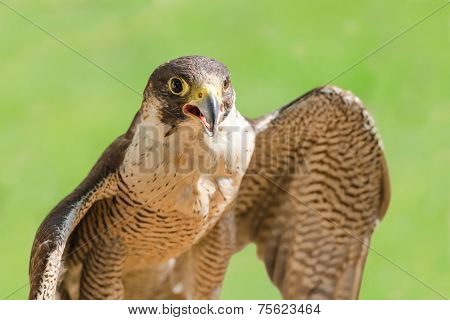 Fast bird predator accipiter or peregrine with spread wings and open beak against green grass background poster