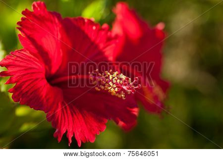 Tropical red bright flower hibiscus in Okinawa
