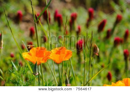 California Poppy And Crimson Clover