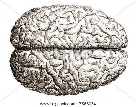 Old Engraving Of Human Brains