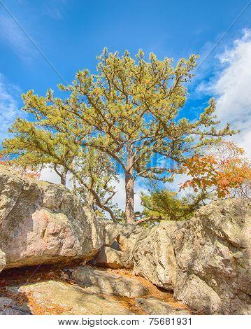 Sentinel Pine, Wolf Rock, Catoctin Mountain Park, MD