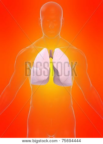 human lung