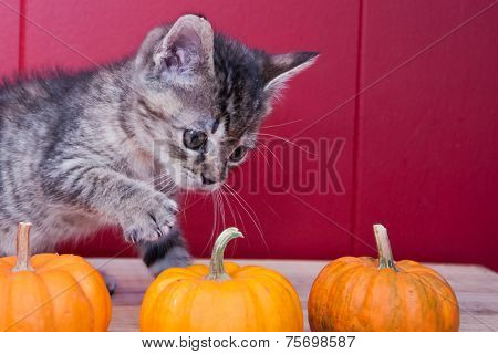 Kitten Playing with Pumpkins