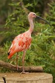 Scarlet Ibis Portrait shot in Athens Zoo poster