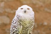 Portrait of quiet predator wild bird snowy white owl staring at camera lens with yellow eyes poster