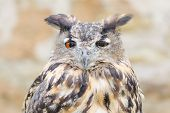 Horned owl or bubo bird close-up portrait of silent night hunter against blurred background poster