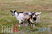 beautiful calendar for May of 2015 year with goat and kids poster