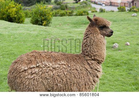 view of an alpaca