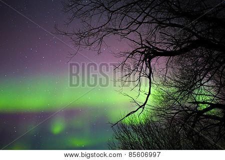 Aurora borealis behind bare tree