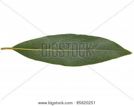 Laurel Bay Tree Leaf Isolated