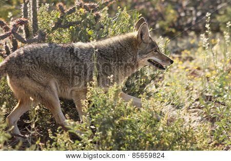 A Portrait Of A Coyote, Canis Latrans