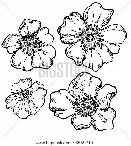vector contour illustration of 4 flower heads, botanic detailed drawing poster