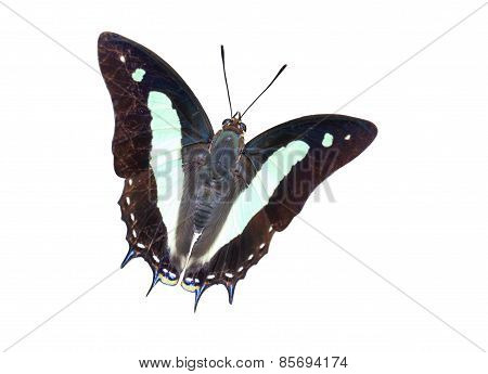 Isolated Common Nawab Butterfly