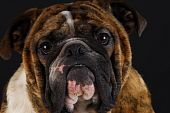 english bulldog male head portrait on black background poster