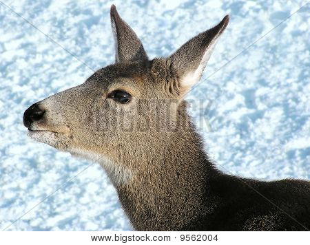 Mule Deer Female Close Up