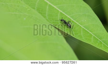 Black Carpenter Ant on Watercress Leaf.