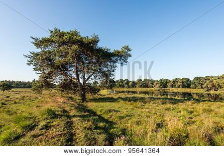 Scots Pine Tree In Early Morning Sunlight.