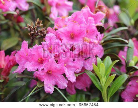 Alpen flora: Rust-leaved Alpenrose