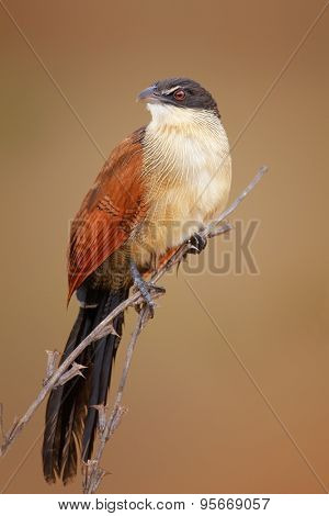 A burchell's coucal (Centropus burchellii) perched on thin branches - Kruger National Park (South Africa)