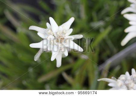 Alpen Flora: Edelweiss (Leontopodium alpinum)