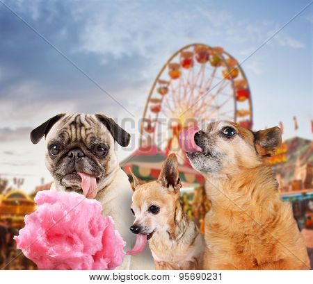 three dogs at a carnival of fair eating pink cotton candy