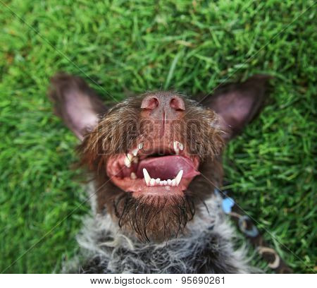 a german wire haired griffon out in nature on his back in the grass with his tongue hanging out of the side of his wet mouth