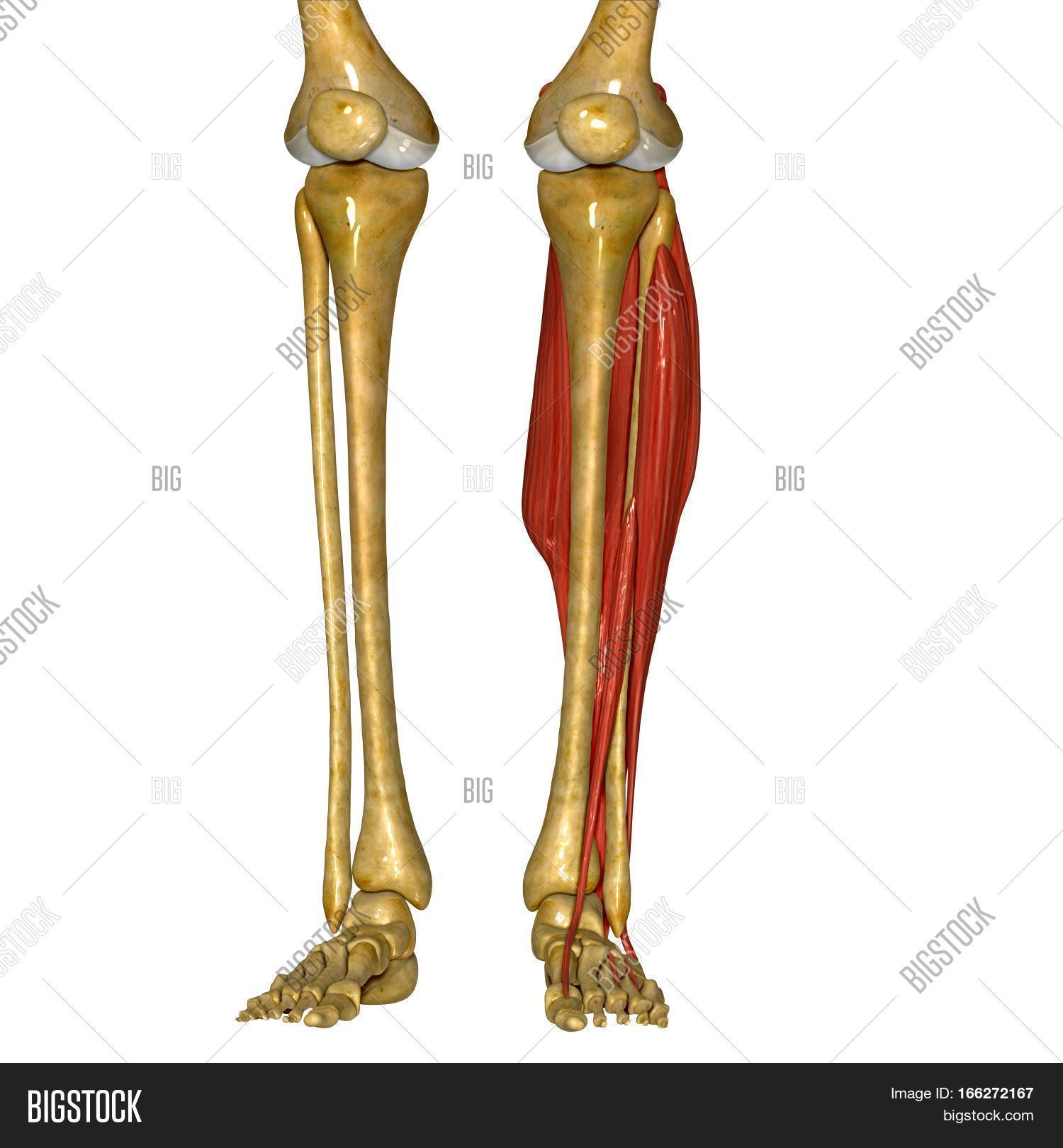 Anterior Muscles Such Image Photo Free Trial Bigstock
