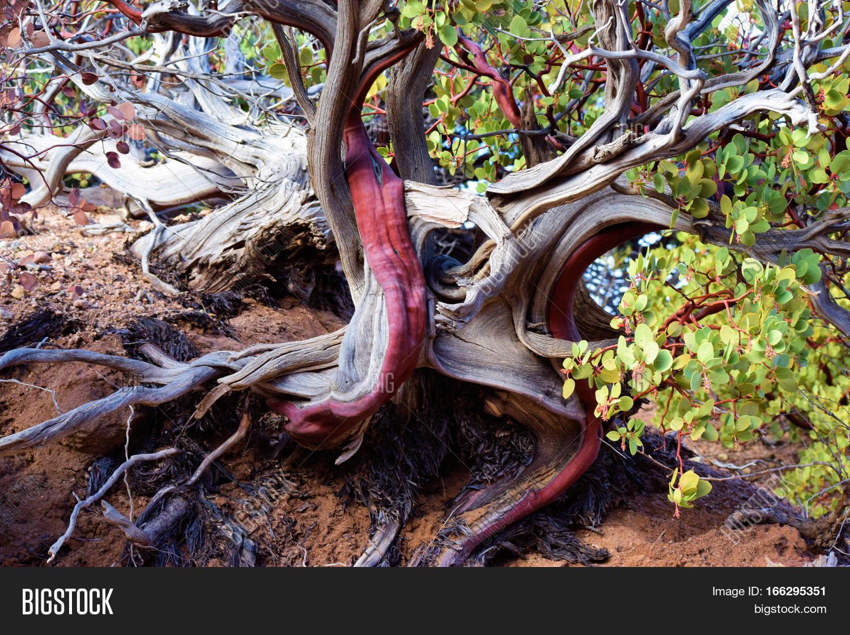 Manzanita Plant Image  Photo Free Trial  Bigstock