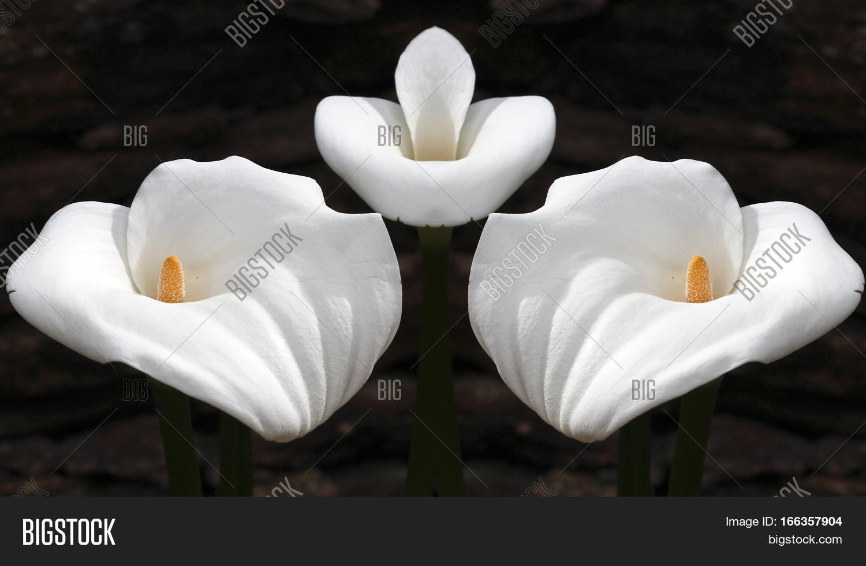 Geometric composition image photo free trial bigstock geometric composition of flowers life allegory deathflower calla zantedeschia aethiopica commonly izmirmasajfo