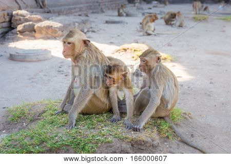 Monkey family sitting in Phra Prang Sam Yot temple ancient architecture in Lopburi Thailand. Select focus