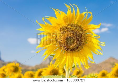 Summer landscape: beauty sunflowers in field with blue sky background